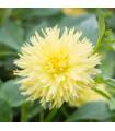 Jiřinka Kenemerland žlutá - kaktusovité jiřinky - holandské cibuloviny - Dahlie - 1 ks