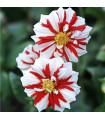 Jiřinka - Oheň - Dahlia hybrida - cibule Jiřinky - 1 ks