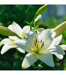 Lilie Canova - Lilium - cibule lilie - 1 ks