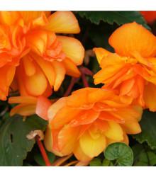 Drobnokvětá begonie oranžová - Begonia multiflora maxima - cibule begónií - 2 ks