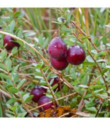 Americká brusinka - Vaccinium macrocarpon - Klikva velkoplodá - osivo brusinky - 10 ks