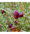 Americké brusinky - Vaccinium macrocarpon - rostlina Klikva velkoplodá - prodej semen brusinek - 10 ks