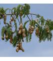 Tamarind indický - Tamarindus indica - prodej semen tamarindu - 5 ks