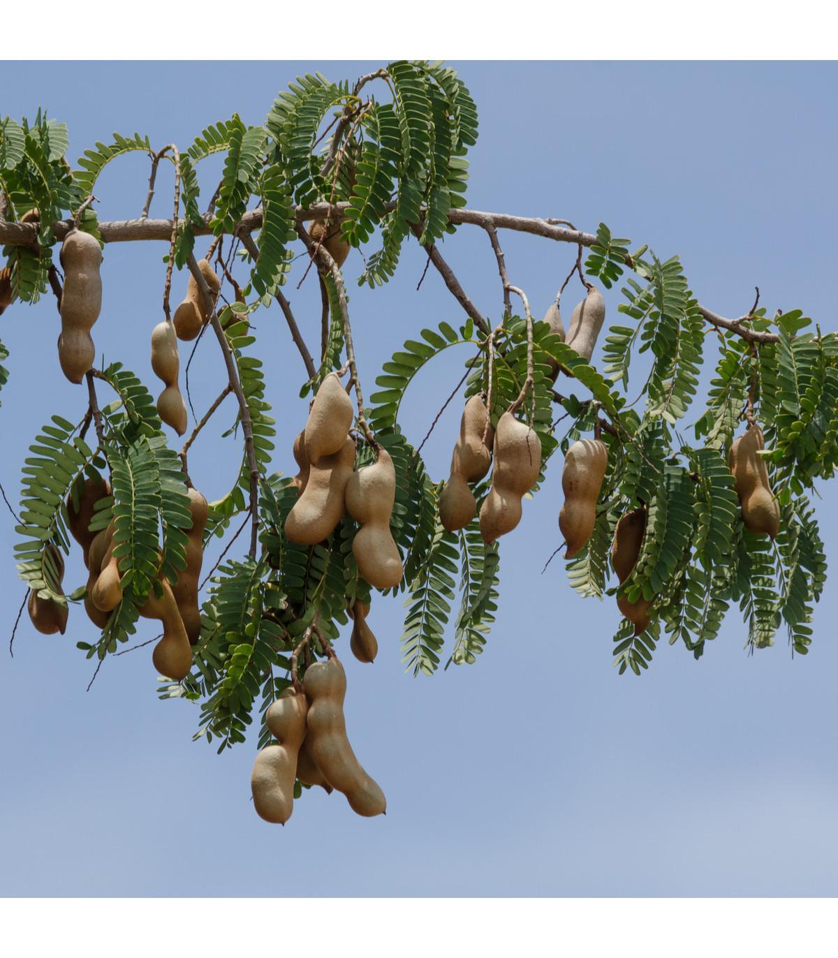 Tamarind indický - Tamarindus indica - osivo tamarindu - 5 ks