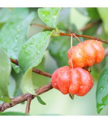 Surimanská třešeň - Martej jednokvětá - Eugenia Uniflora - prodej semen - 2 ks