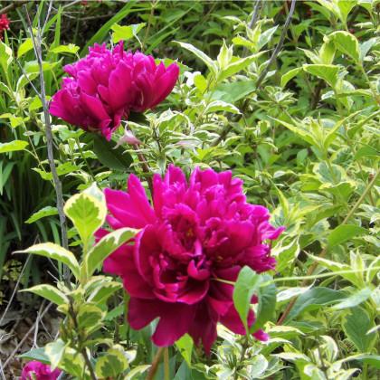 Pivoňka Karl Rosenfield - Paeonia lactiflora - hlízy pivoněk - 1 ks