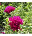 Pivoňka červená Karl Rosenfield - Paeonia lactiflora - cibulky pivoněk - 1 ks