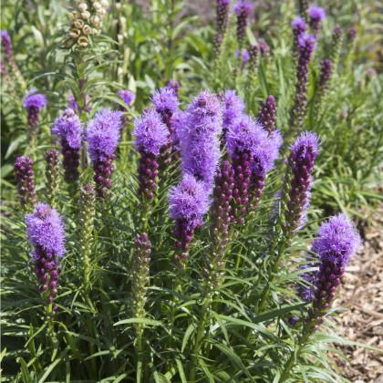 Šuškarda fialová - Liatris spicata - hlízy šuškardy - 5 ks