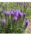 Šuškarda fialová- Liatris spicata- cibule Šuškardy- 5 ks