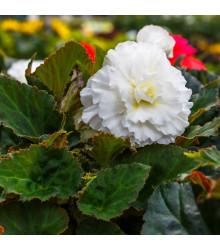 Drobnokvětá begonie bílá - Begonia multiflora maxima - cibule begónií - 2 ks