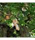 Kigélie - Salámový strom - Kigelia africana - osivo kigélie - 4 ks