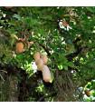 Kigélie - Salámový strom - rostlina Kigelia pinnata - prodej semen - 4 ks