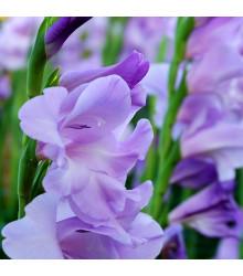 Gladiol modrý Tropic - Gladiolus - cibule mečíků - 3 ks