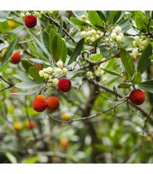 Jahodový strom - Planika obecná - Arbutus unedo - prodej semen jahodového stromu - 5 Ks