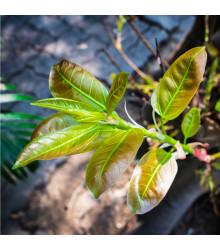 Fíkovník indický - Ficus benghalensis - prodej semen - 5 ks