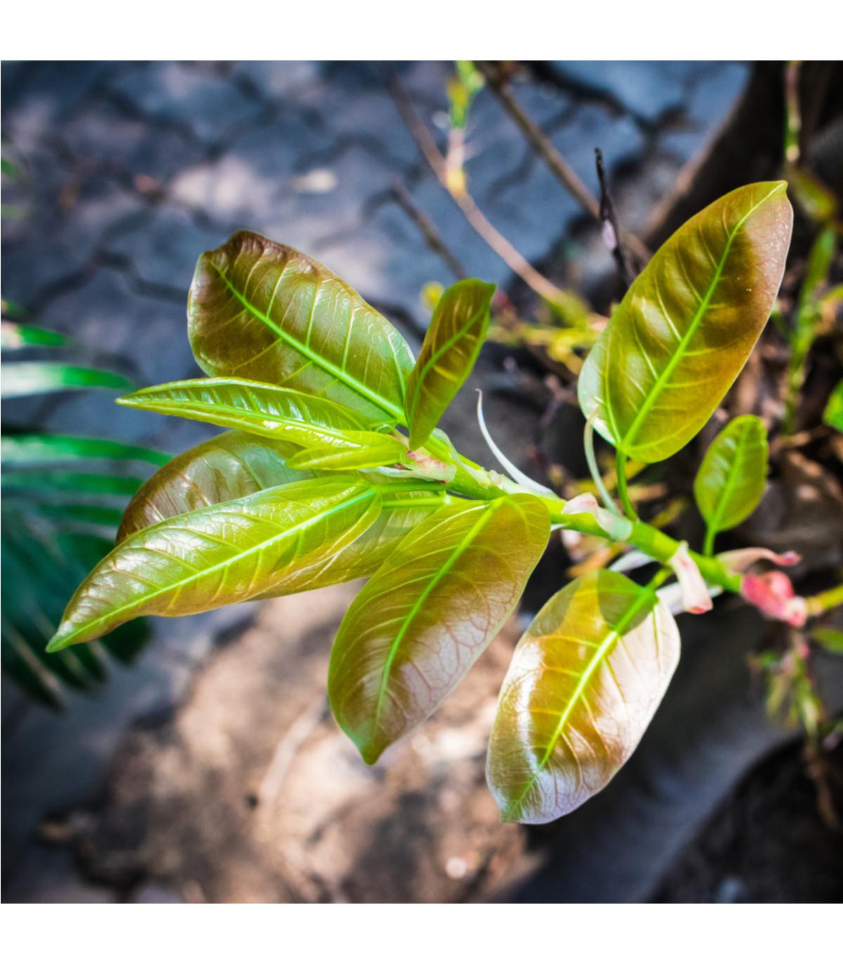 Fíkovník indický - Ficus benghalensis - osivo fíkovníku - 5 ks