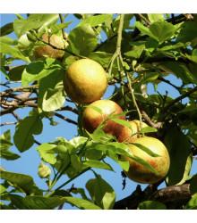 Guave - semena guave - psidium guajava - 4 ks