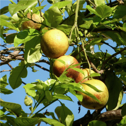 Guave - Psidium guajava - osivo guáve - 4 ks