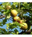 Guave- semena- 4 ks