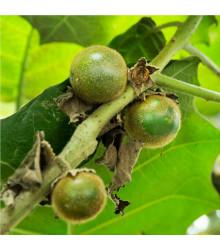 Narančila - Solanum quitoense - chlupatý pomeranč - semena narančily - 5 ks