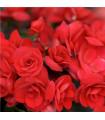 Drbonokvětá begónie červená - Begonia multiflora maxima - prodej jarních cibulovin - 2 ks