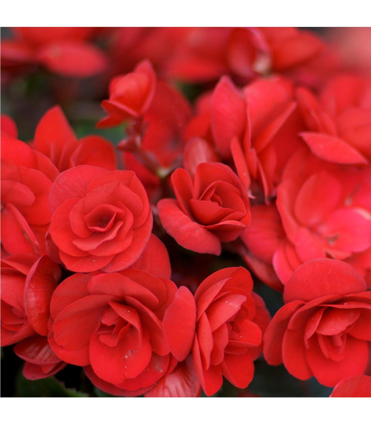 Drobnokvětá begonie červená - Begonia multiflora maxima - cibule begónií - 2 ks