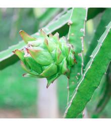 Pithaya - Dračí ovoce - Hylocereus undatus - Pitaya - semena pitaji - 4 ks