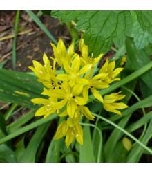 Česnek žlutý Moly - Allium Moly - holandské cibule česneku - 3 Ks