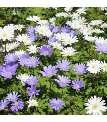 Sasanka vábná směs barev - Anemone blanda - prodej hlíz - 3 ks