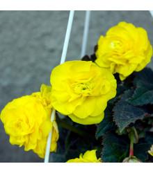 Begonie pendula žlutá - Begonia pendula maxima - cibulky begonie - 2 ks