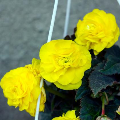 Begonie pendula žlutá - Begonia pendula maxima - hlízy begónií - 2 ks