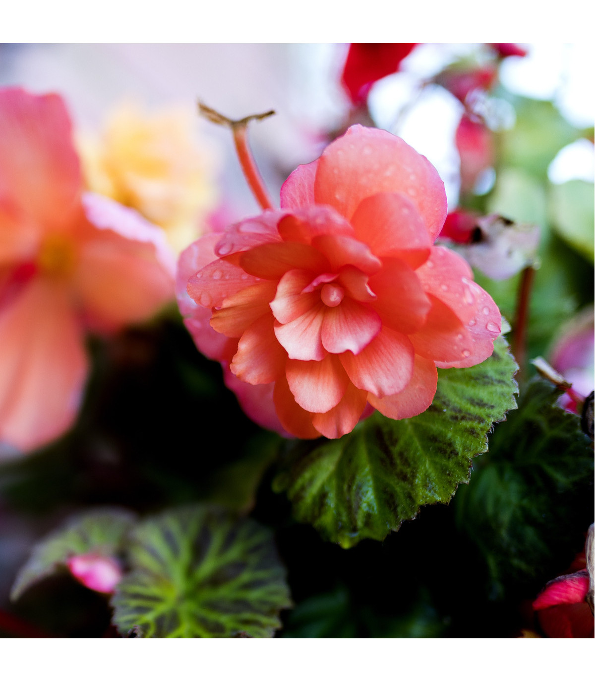 Begonie převislá plnokvětá růžová - Begonia pendula maxima - cibule begonií - 2 ks
