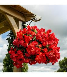 Begonie plnokvětá červená - Begonia pendula - cibule begonií - 2 ks