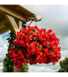 Begónie plnokvětá červená - Begonia pendula - prodej jarních cibulovin - 2 ks