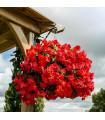 Begónie převislá plnokvětá červená - Begonia pendula - prodej jarních cibulovin - 2 ks