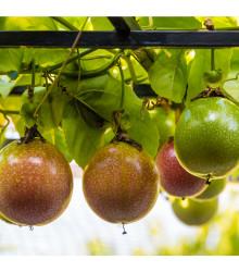 Mučenka jedlá - Maracuja - Passiflora edulus - osivo mučenky - 5 ks