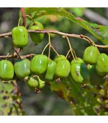 Minikiwi - rostlina Actinidia arguta - mrazuvzdorné kiwii - prodej semen minikiwi - 5 ks