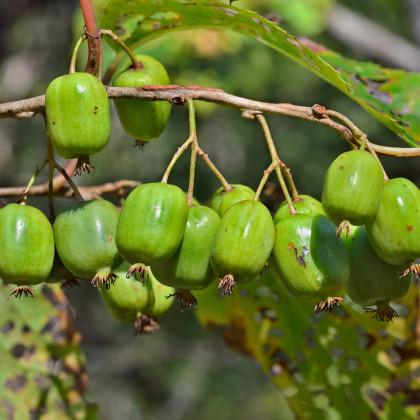 Minikiwi - Actinidia arguta - osivo minikiwi - 5 ks