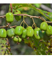Minikiwi - rostlina Actinidia arguta - Koktejl kiwi - prodej semen minikiwi - 5 ks