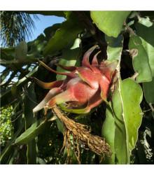 Pithaya červená pěstování - Hylocereus costaricensis - semena pitaji - 4 ks