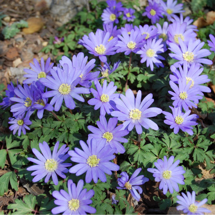 Sasanka vábná Blue Shades - Anemone blanda - hlízy sasanek - 3 ks