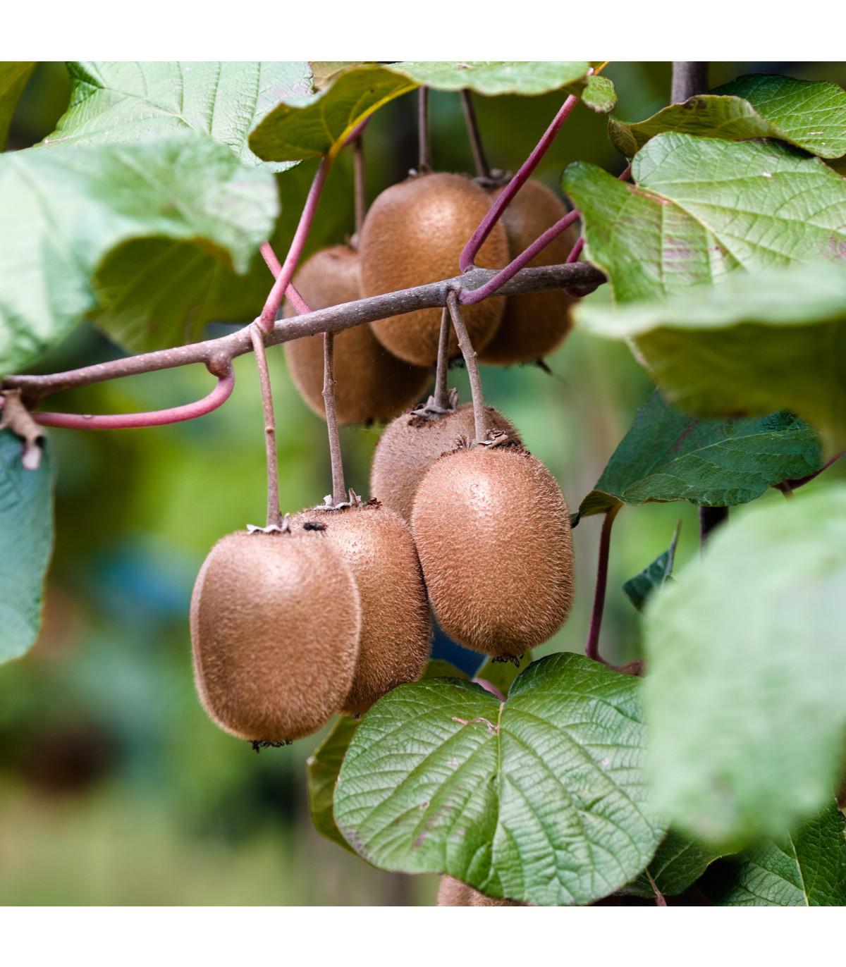 Kiwi čínské - Aktinidie - Actinidia chinensis - osivo kiwi - 5 ks