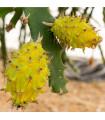 Pithaya žlutá - Selenicereus megalanthus - Pythaya - Pitaya - semena pitaji - 4 ks