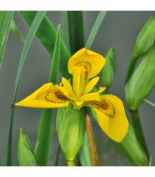 Kosatec síťkovaný Danforda - Iris reticulata - prodej holandských cibulek - 3 ks