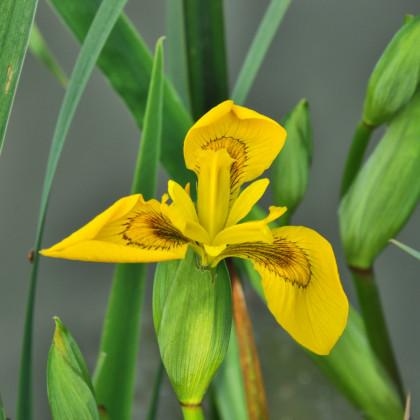 Kosatec síťkovaný Danforda - Iris reticulata - cibule kosatců - 3 ks
