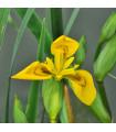 Kosatec síťkovaný Danforda - Iris reticulata - cibule kosatce - 3 ks