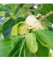 Noni- Morinda citrifolia- semena- 5 ks