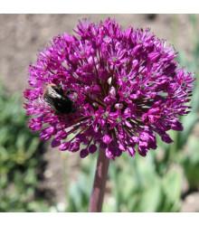 Česnek okrasný - Allium aflatunense - holandské cibule česneku - 3 Ks