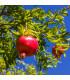 Granátovník - Punica Granatum - osivo granátovníku - 5 ks