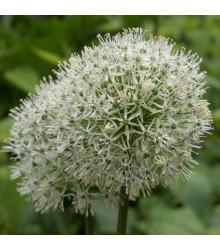 Česnek Mount Everest - Allium - holandské cibule česneku - 1 ks
